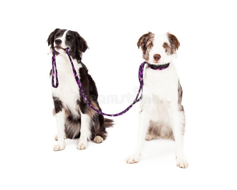 Dwa Border Collie psa Biorą Each Inny Dla spaceru obrazy stock