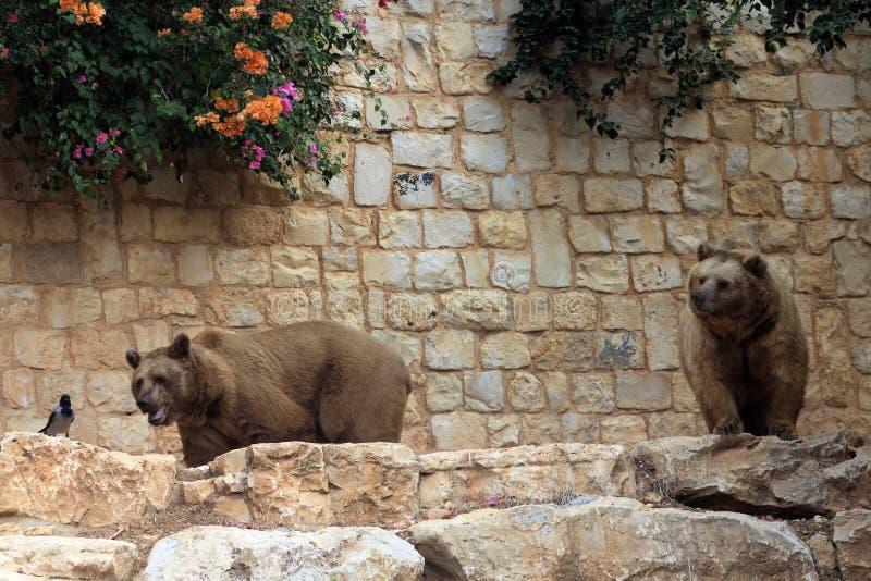 dwa brązowe niedźwiedzia buffalo zoo zdjęcia royalty free