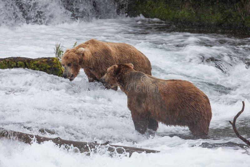 dwa brązowe niedźwiedzia buffalo zoo obraz royalty free