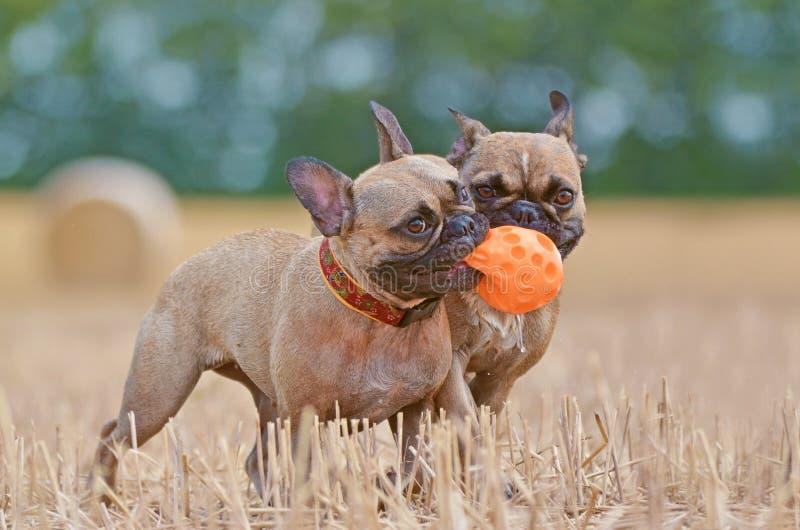 Dwa brązu Francuskiego buldoga psów bawić się przynosi podczas gdy dzielący pomarańcze psią piłkę w kaganu na zbierającym polu w  zdjęcia royalty free