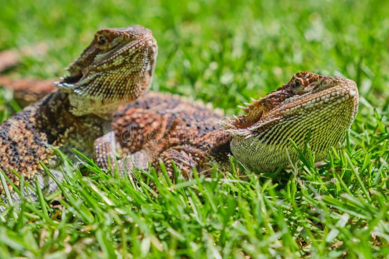 Dwa brodatego smoka kłama w zielonej trawie fotografia royalty free