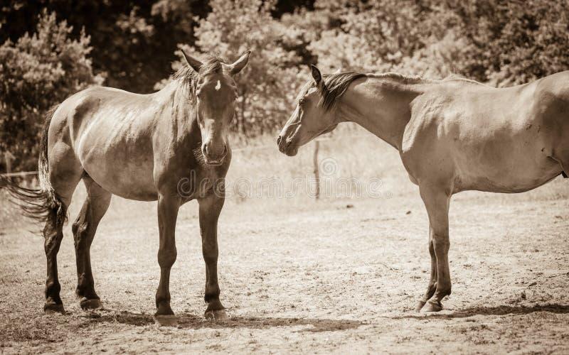 Dwa brown dzikiego konia na łąki polu obrazy royalty free