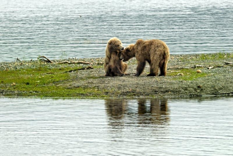 Dwa brown niedźwiedzi lisiątek bawić się obrazy royalty free