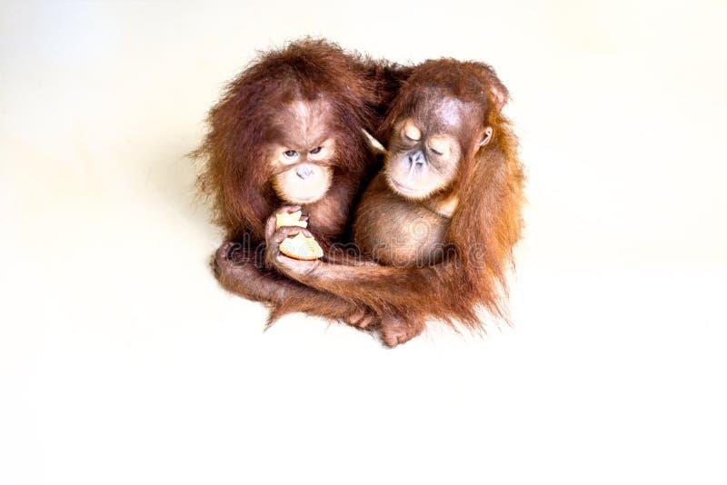 Dwa brown orangutan dziecka na gładkiego tła odgórnym widoku obraz royalty free