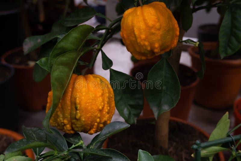 Dwa bryłowata pomarańczowa owoc fotografia stock