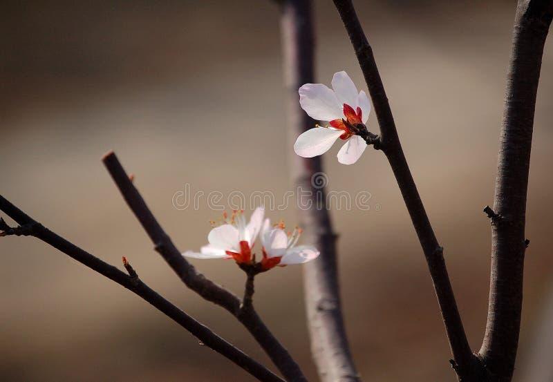 Dwa brzoskwini kwiat fotografia stock