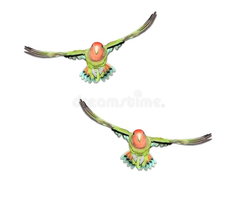Dwa brzoskwinia stawiał czoło lovebirds w locie royalty ilustracja