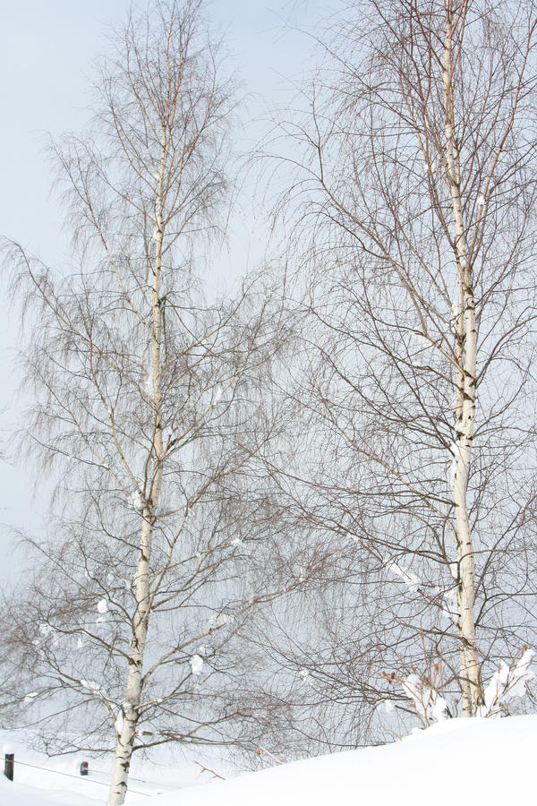 Dwa brzozy drzewa w zimie zdjęcia royalty free