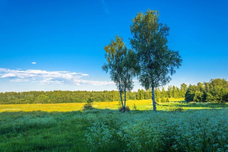 Dwa brzozy na tle koloru żółtego niebieskie niebo i pole zdjęcia stock