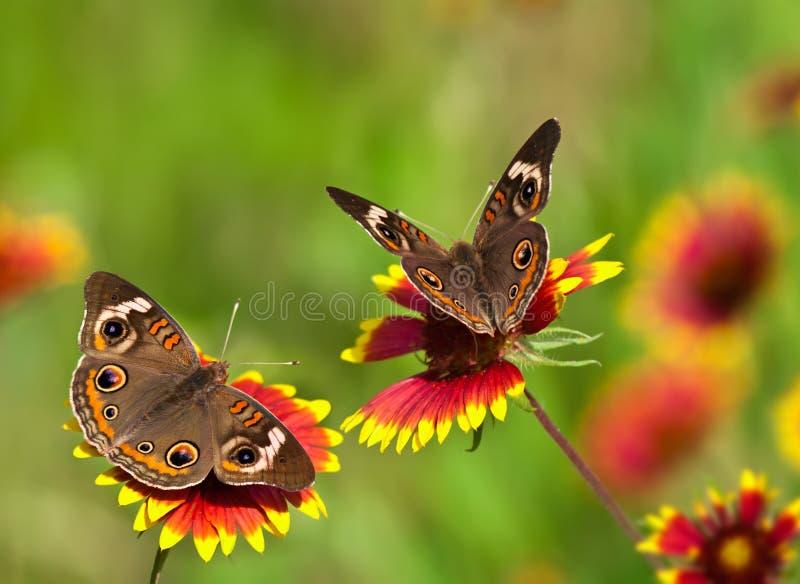 Buckeye motyle na Indiańskich Powszechnych kwiatach obrazy stock