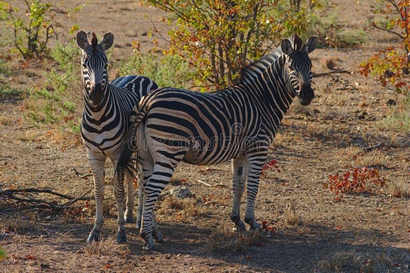 Dwa Burchell ` s zebry Equus burchelli odpoczywa w cieniu Kruger park narodowy, Południowa Afryka obraz royalty free