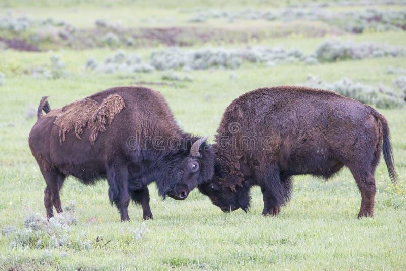 Dwa byka bizonu zaciera się wpólnie fotografia stock