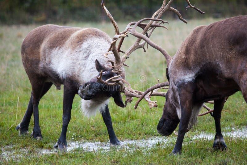Dwa Caribous walczy w Alaska obraz stock
