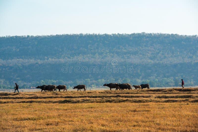 Dwa cattlemen kontroluje grupy bizony obrazy stock