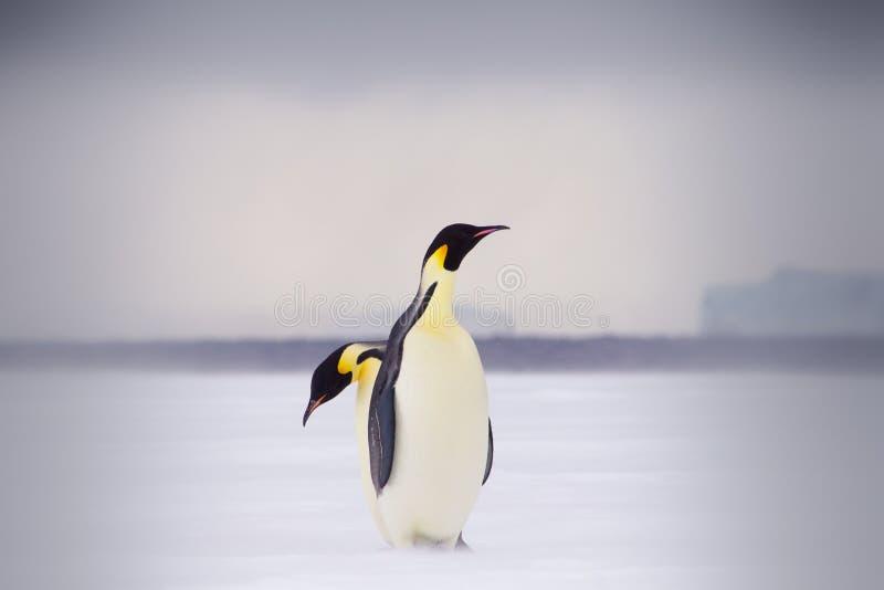 Dwa cesarza pingwinu na lodzie morskim, jeden za inny zdjęcie royalty free