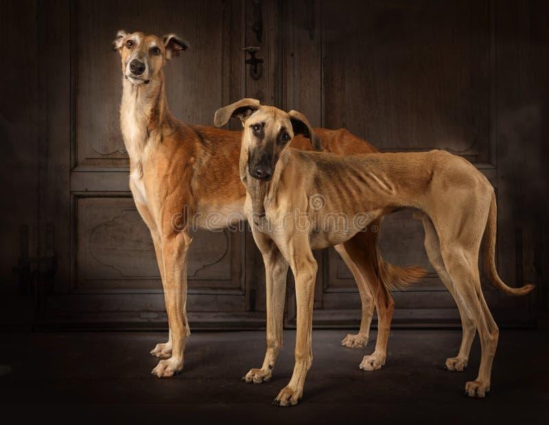 Dwa charcica psa indoors zdjęcie royalty free