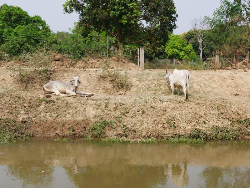 Dwa chudej zdrowej krowy kłaść i chodzi na banku irygacyjny kanał w obszarze wiejskim zdjęcia stock