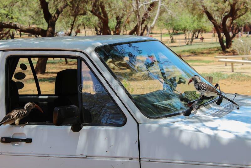 Dwa ciekawej dzioborożec siedzi na białym samochodzie w afrykaninie obozują fotografia royalty free