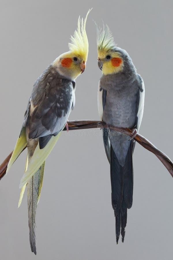 Dwa cockatiels zdjęcia stock