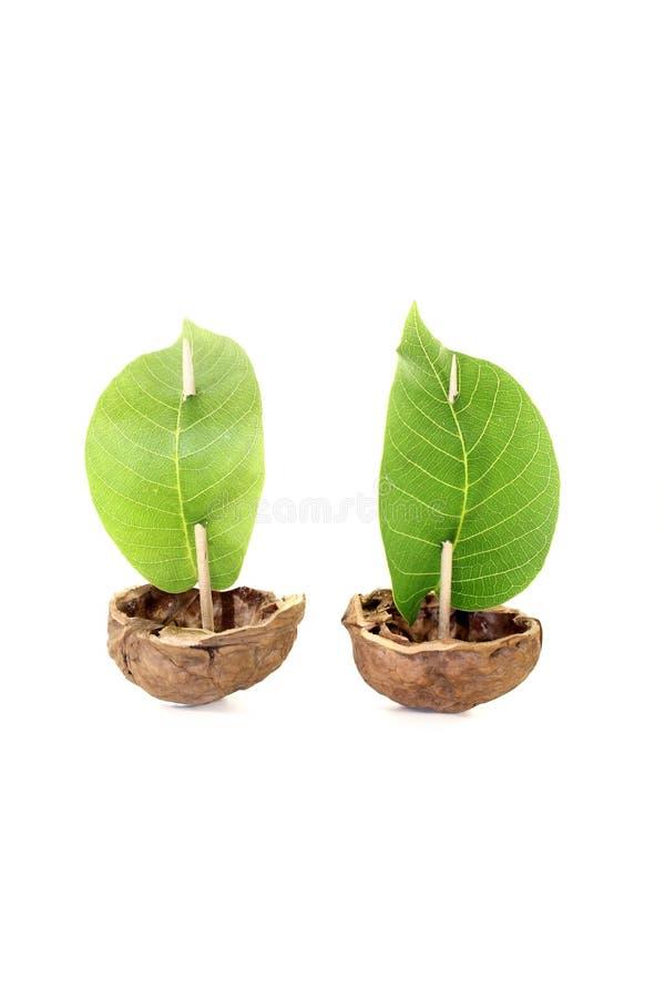 Dwa cockleshell od orzech włoski skorupy z liściem żegluje zdjęcia stock