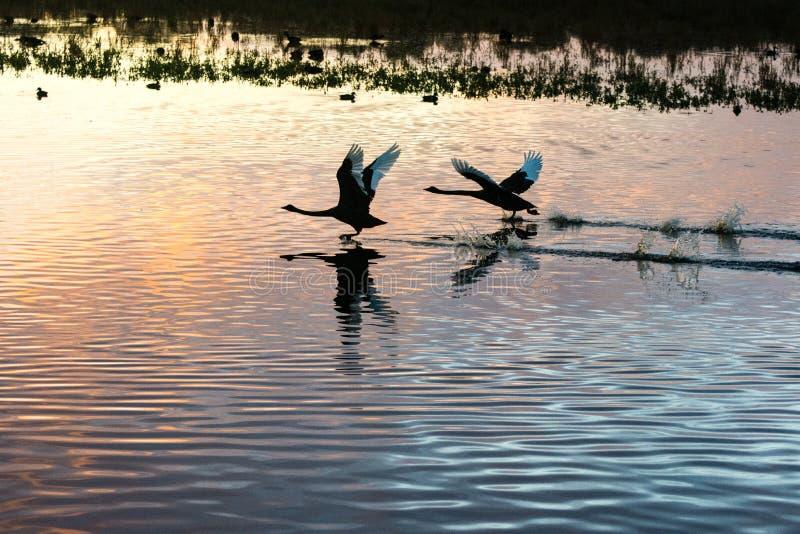 Dwa czarnego łabędź bierze daleko od jeziora zdjęcia royalty free