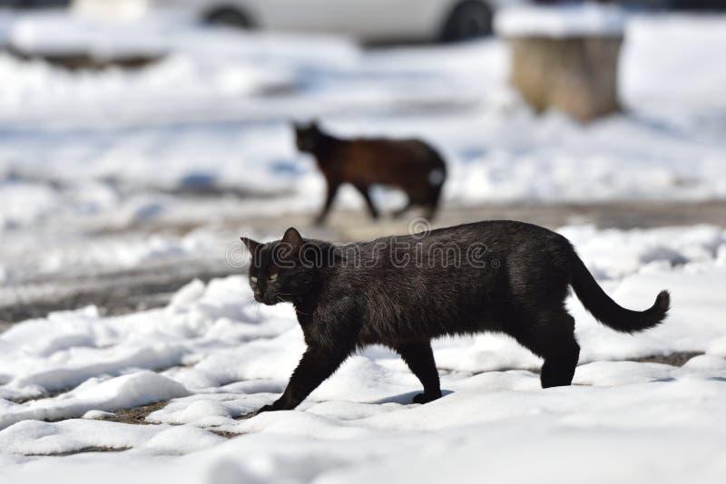 Dwa czarnego kota chodzą w ulicie na zima dniu obrazy royalty free