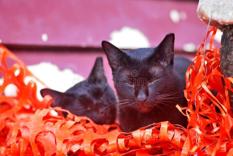 Dwa czarnego kota z oczami zamykającymi obrazy royalty free