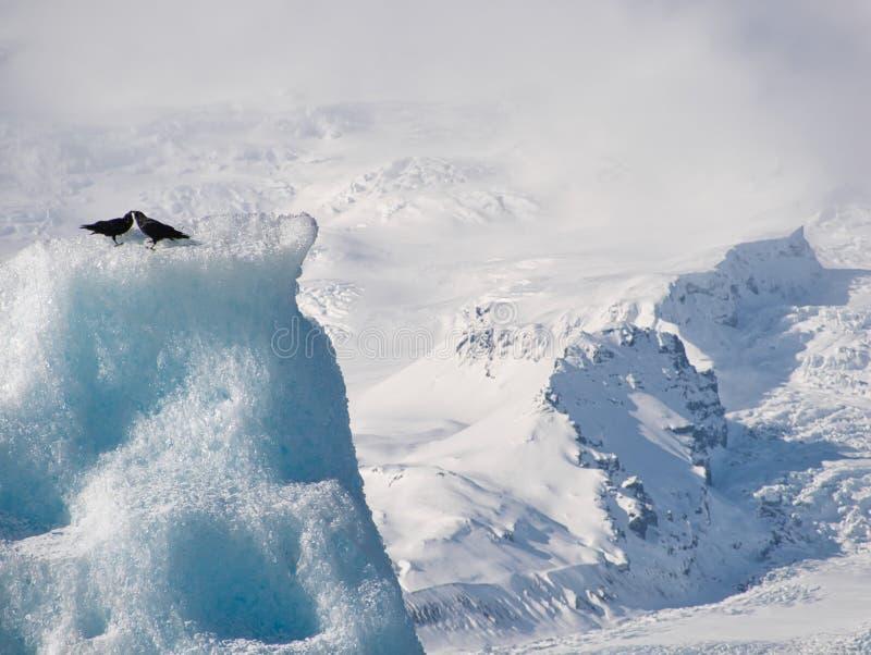 Dwa czarnego kruka na lodowym floe w Iceland zdjęcia stock