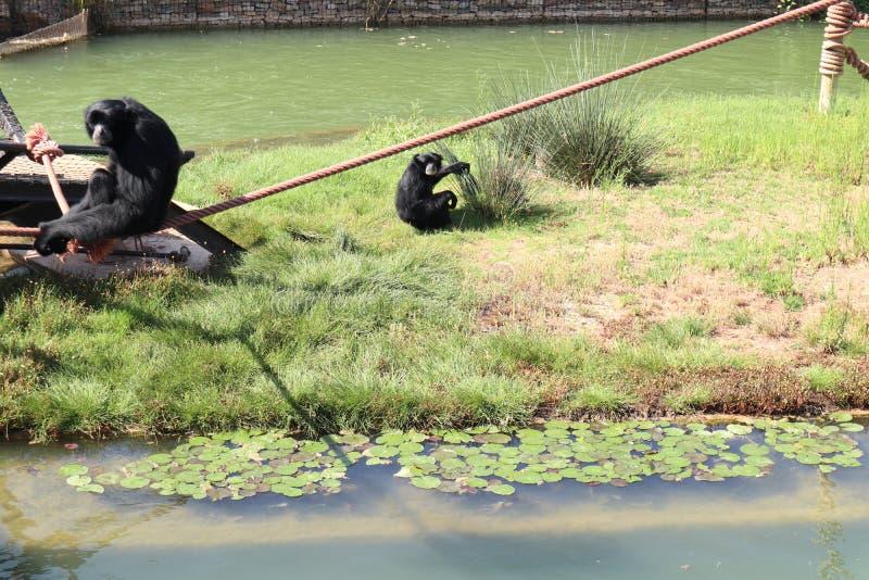Dwa Czarnej małpy Patrzeje kamerę fotografia royalty free