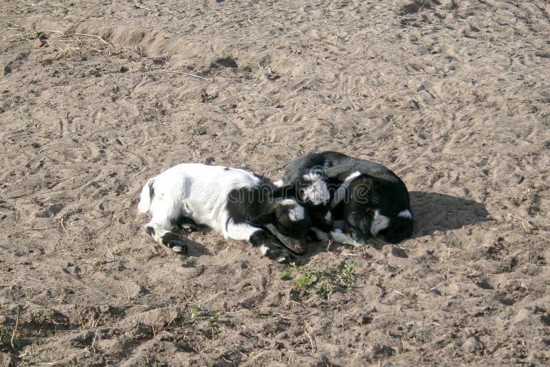 Dwa czarny i biały dziecko kózki kłaść w dół wpólnie w piaskowatym polu zdjęcia stock