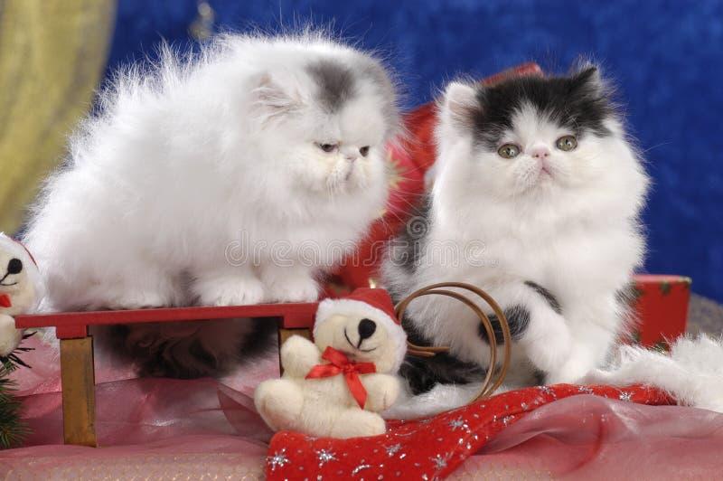 Dwa czarny i biały perska figlarka w boże narodzenie dekoracji zdjęcie royalty free