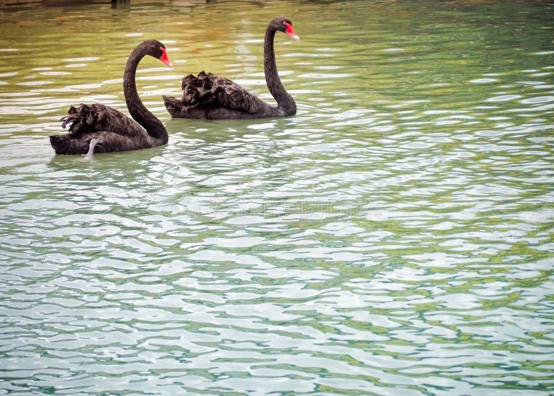 Dwa czarnych łabędź piękny pławik na stawie obraz royalty free