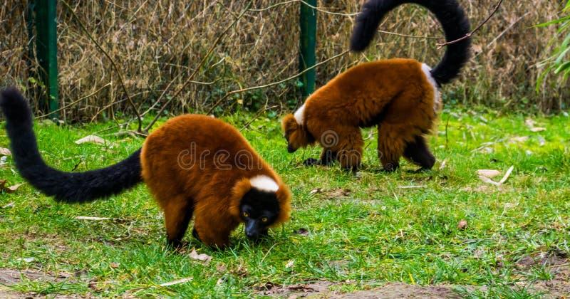 Dwa czerwień ruffed lemury chodzi wpólnie w trawie, portret krytycznie zagrażać małpy od Madagascar fotografia royalty free