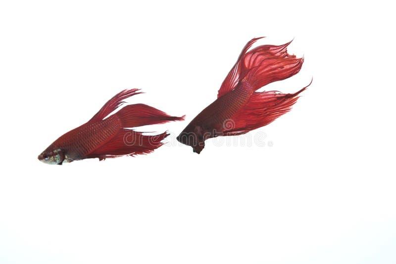 Dwa czerwieni betta ryba idzie target544_0_ zdjęcia royalty free