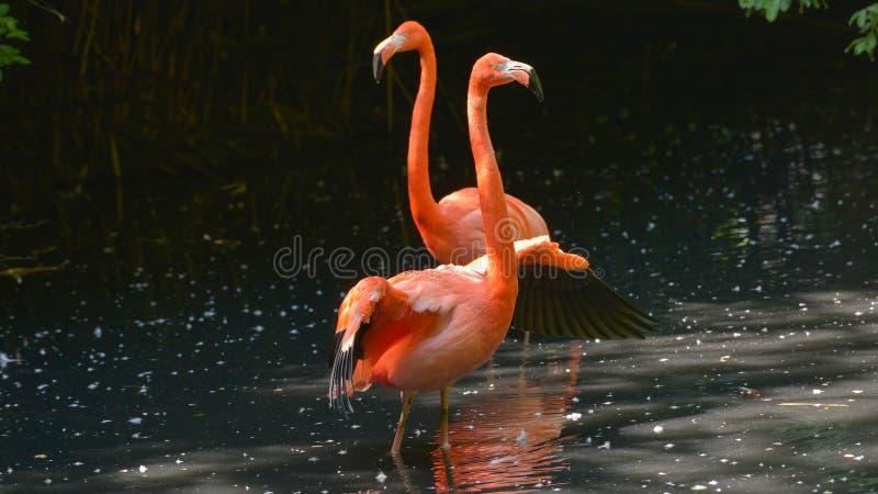 Dwa czerwonego flaminga stoi po środku stawu zdjęcia stock