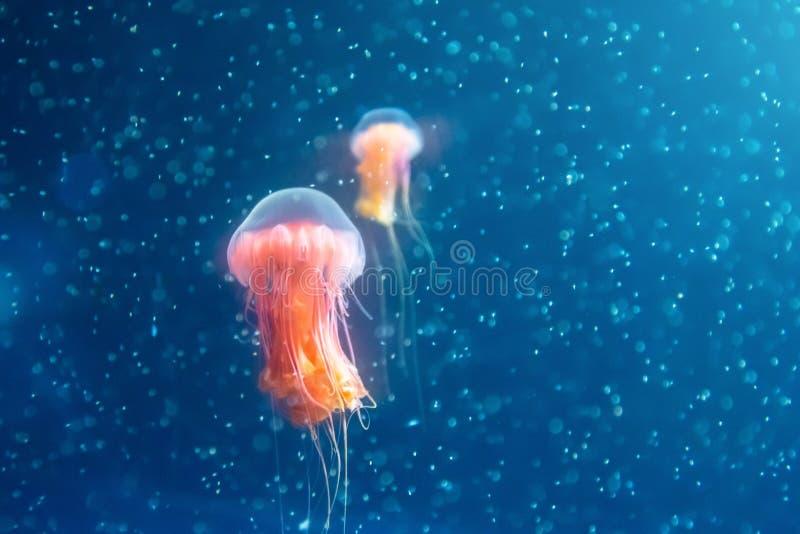 Dwa czerwonego jellyfish wśród dalekomorskich wod i bąbli, mikrokosmos zdjęcie royalty free