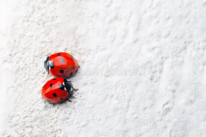 Dwa Czerwonego Ladybirds Stawia czoło Naprzeciw kierunków na bielu kamienia kipieli obraz royalty free