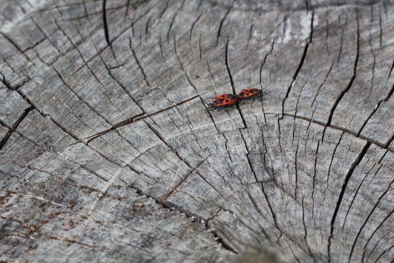 Dwa czerwonego pluskwy firebugs, czerwone żołnierz pluskwy, Spilostethus pandurus, bawełniani barwidła, Pyrrhocoridae kotelnia na zdjęcie stock