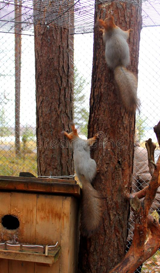 Dwa czerwonej wiewiórki wspina się drzewa fotografia stock