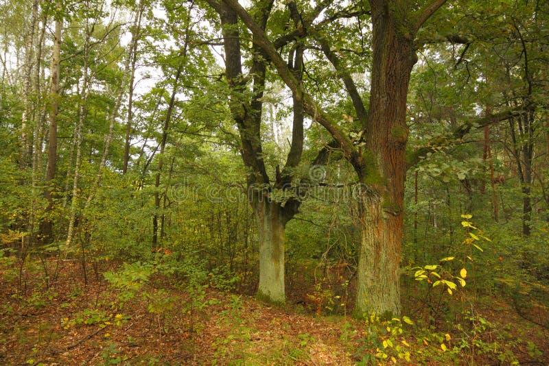 Dwa dębu w lesie przy późnym latem zdjęcia royalty free
