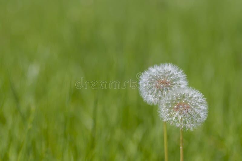 Dwa Dandelions na Zielonej trawie - Horyzontalnej zdjęcie royalty free