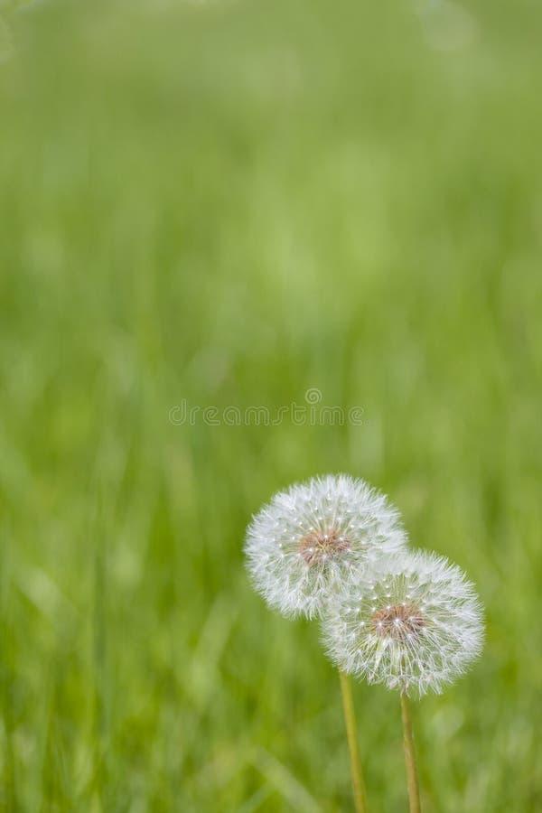 Dwa Dandelions na Zielonej trawie - Pionowo obrazy stock