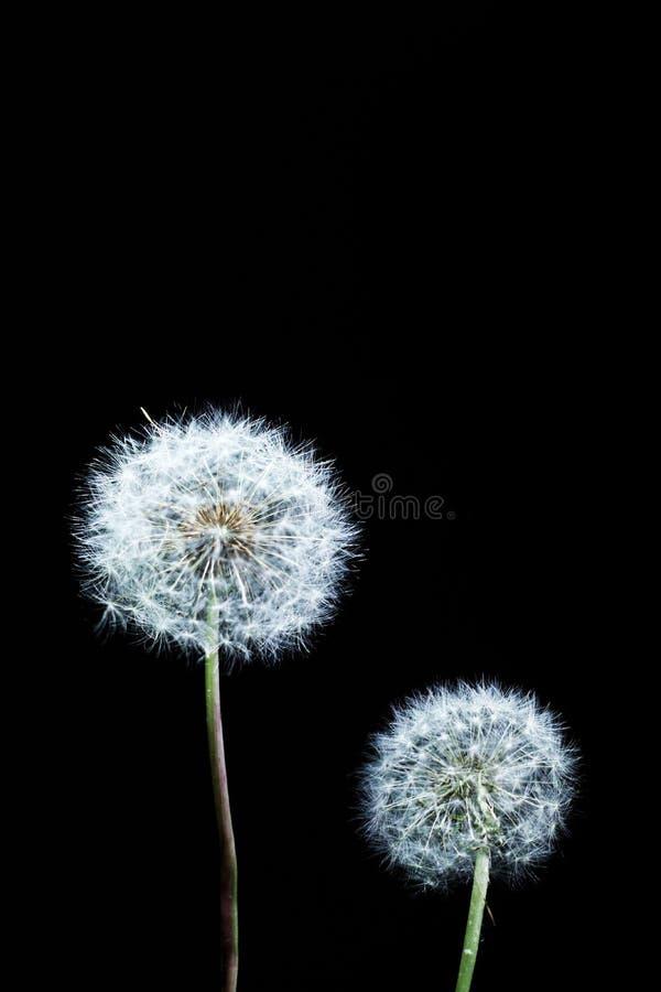 Dwa Dekoracyjny dandelion zdjęcie royalty free