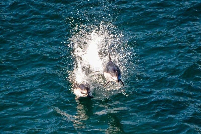 Dwa delfinu skacze z wody zdjęcie royalty free