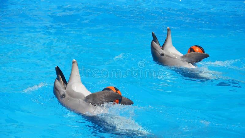 Dwa delfinu w basenie bawić się z piłkami obrazy stock