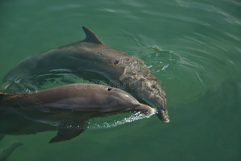 dwa delfiny zdjęcie stock