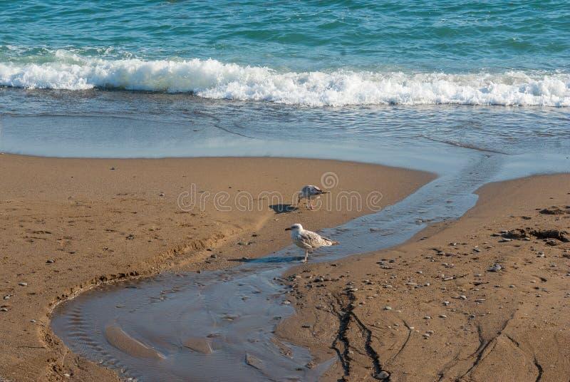 Dwa dennego frajera szuka dla niektóre jedzenia na Czarnej Dennej dzikiej plaży zdjęcia stock