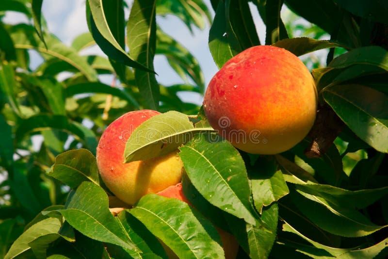 Dwa dojrzałej brzoskwini w drzewie zdjęcia royalty free