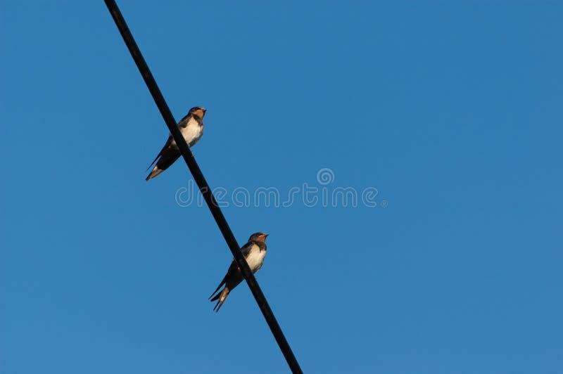 Dwa dorosłej dymówki siedzi na elektrycznym drucie z niebieskim niebem w tle zdjęcie royalty free