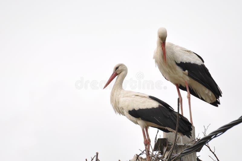 Dwa dorosłych bocian w gniazdeczku na betonowym słupie Ptak z d?ugimi nogami Biały bocian na chmurnym niebie zdjęcie royalty free